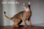Абиссинский кот на вязку.
