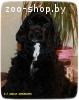 Американский кокер спаниель - щенок
