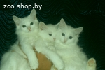 белые пушистые котята, девочки