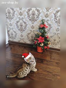 Бенгальские кошечки и котик