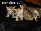 Бенгальские котята Питомник бенгальских кошек  sunnybunny.by