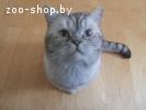 Британский кот ищет кошку для вязки