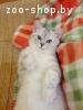 Британский котенок (вискас)