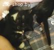 Черно-белые и черные домашние котята в дар !
