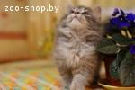 Четверо прекрасных сибирских котят 2-2,5 мес. в дар