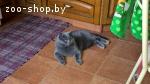 Чистокровный британский кот приглашает на вязку
