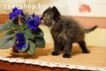 Фенотип котёнок сибирской кошки по имени Лейла 2 мес. в дар