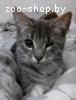 Ищет семью добрый и веселый молодой котик по кличке Сигурт