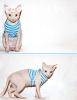канадский сфинкс ищет кошку для вязки
