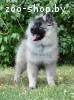 Кеесхонд (вольфшпиц) щенки на wolfspitz.by