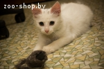Котенок Турецкой ангоры (мальчик)