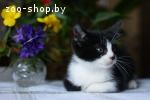 Котёнок-мальчик благородного классического окраса в дар