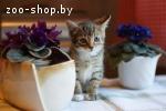 Котёнок-мальчик, классического тигрового окраса, 2 мес. в да