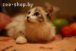 Котёнок-мальчик невской маскарадной кошки по имени Гиперион