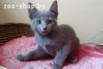Котёнок русской голубой кошки, девочка 2,5 мес. в дар