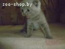 котята шотландской вислоухой