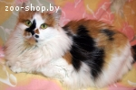 Красавица трехцветная кошка на счастье - в дар