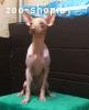 Ксолоитцкуинтли мини (мексиканская голая собака), девочка