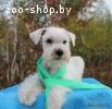 Купить щенка цвергшнауцера в питомнике в Минске