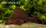 Леопардовый парчовый сом
