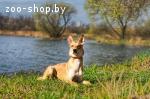 Лис-красивая собака в дар