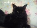 Мэйн кун кот