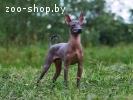 Мексиканская голая собака миниатюра