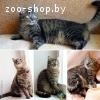Мишель-кошка лесного окраса как в рекламе «Вискас»