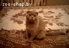 на вязку шотландский кот