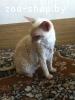 Нашел кошку, корниш рекс, светлого цвета, МИНСК