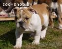 Очаровательные щенки Английского бульдога