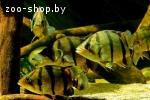 Окунь тигровый сиамский