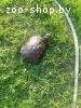 Отдам в дар красноухую черепаху