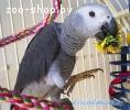 Попугай Жако птенцы рождены в Белларуси ручные