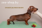 Предлагаем щенков гладкошерстной карликовой таксы рыжего окр