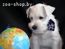 Предлагаю к резервированию щенков цвергшнауцера белого окрас
