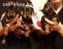 Продаем шикарных щенков цвергпинчера