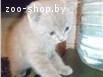 продам котят скоттиш-фолд и скоттиш-страйт