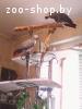 Продам пару попугаев - Жако алохвостых для разведения.