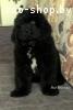 Продам щенка ньюфаундленда