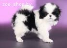 Продаю элитного щенка Японского хина