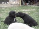 щенки метис лабрадора