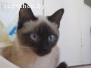 Сиамская кошка, вязка
