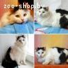 Сонька –кошка c золотым характером !!!
