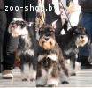Цвергшнауцер великолепные щенки