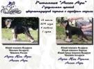 Цвергшнауцера щенки окрас черный с серебром
