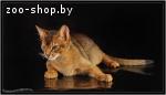 Вязка абиссинских кошек Питомник абиссинских кошек  sunnybun