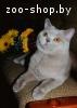 Вязка. Британский кот.