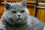 Вязка Чистокровный Британский кот