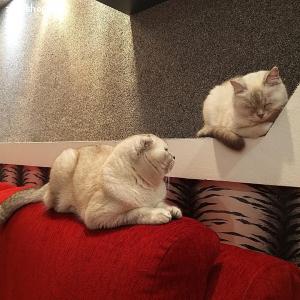 Вязка - шотландский вислоухий кот